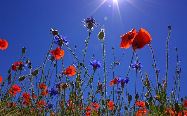 field-of-poppies-807871_640.jpg