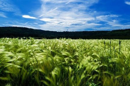 barley-871994_640.jpg